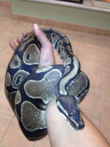 Ball Python Gwar at Pathfinder Ranch