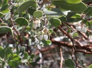 Manzanita.Berries.Forming