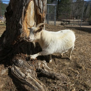 Blue Jasmine is curious about this cottonwood tree in the middle of her new home.