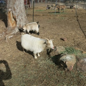 Our new goats are getting acquainted to their new home.